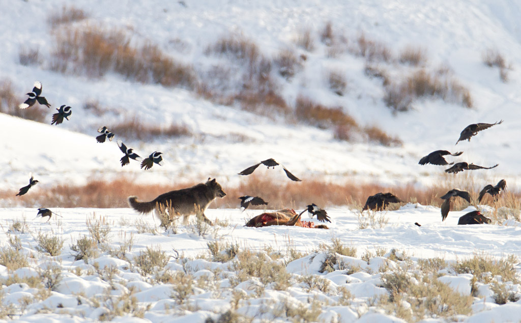 https://www.yellowstone.org/naturalist-notes-wolves-and-ravens/
