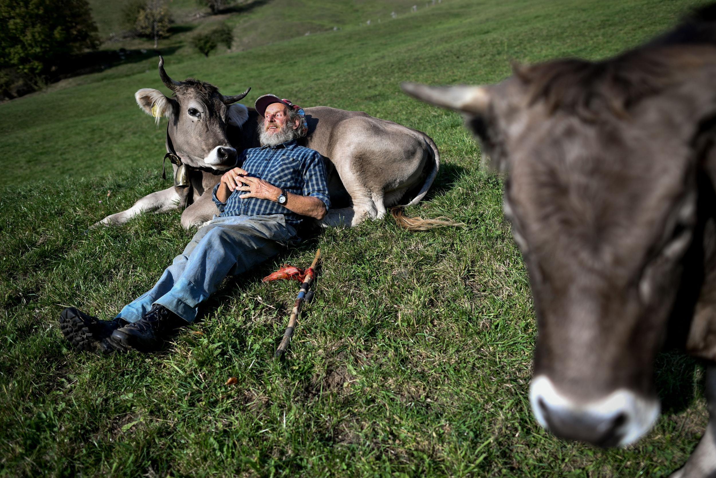 https://www.independent.co.uk/arts-entertainment/cow-cuddling-america-netherlands-therapy-a9007096.html